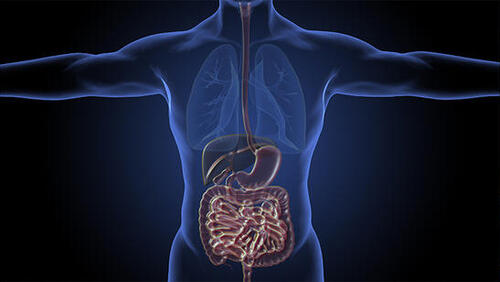 Anatomical diagram of human intestine, stomach, and liver