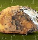 rotten potato